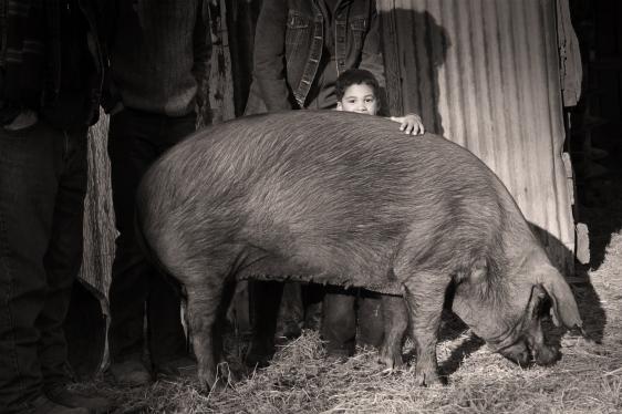 pig at heritage