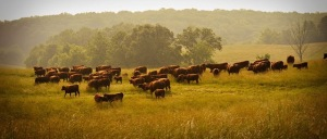 Cows grazing at Heritage Reclaimed Farm